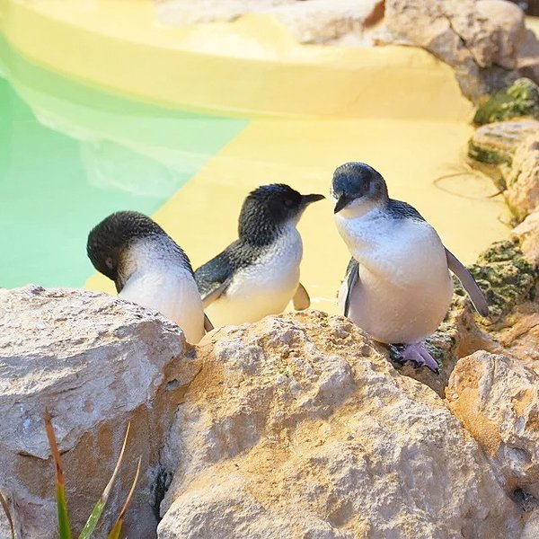 Group of Penguins Penguin Island Perth
